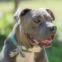 American Staffordshire Terrier Mix Dog for adoption in Santa Monica, California - Winston