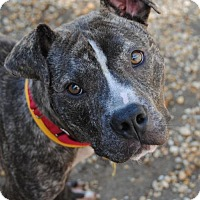 Adopt A Pet :: *Champ* - Philadelphia, PA