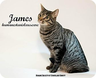 Domestic Shorthair Cat for adoption in Modesto, California - James