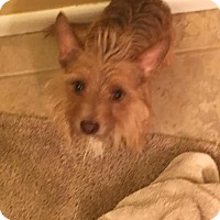 Cairn Terrier Mix Dog for adoption in Columbus, Ohio - Basil