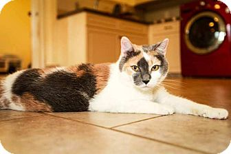 Domestic Shorthair Cat for adoption in Trevose, Pennsylvania - Lylah