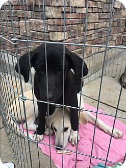 Labrador Retriever/Hound (Unknown Type) Mix Dog for adoption in Hohenwald, Tennessee - Dazzle