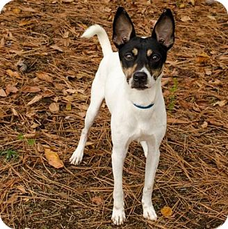 Terrier (Unknown Type, Medium) Mix Dog for adoption in Brownsboro, Alabama - Slim Jim