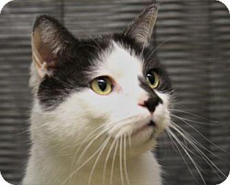 Domestic Shorthair Cat for adoption in West Des Moines, Iowa - Gauge