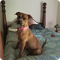 Hound (Unknown Type)/Boxer Mix Dog for adoption in Sanford, Florida - Hannah
