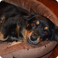 Adopt A Pet :: Bella - Pittsburgh, PA