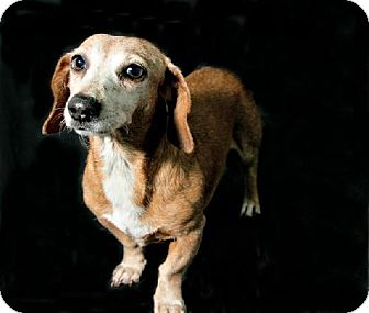 Dachshund Dog for adoption in Pearland, Texas - Lola