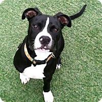 Adopt A Pet :: Auggie - Lompoc, CA