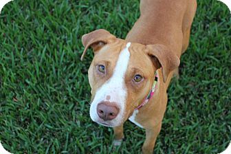 American Pit Bull Terrier/Rhodesian Ridgeback Mix Dog for adoption in ...