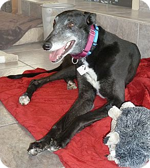 Greyhound Dog for adoption in Tucson, Arizona - Ten E Re