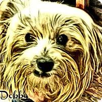 Adopt A Pet :: Dobby-PA - Mays Landing, NJ
