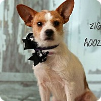 Adopt A Pet :: Ziggy in Conroe/Houston - Houston, TX