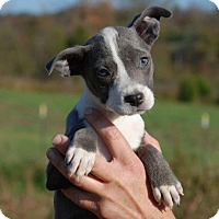Adopt A Pet :: Autumn - Milford, CT