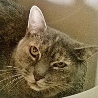 Domestic Shorthair Cat for adoption in New York, New York - Pearl (Westhampton)