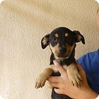 Adopt A Pet :: Susie - Oviedo, FL