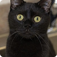 Domestic Shorthair Cat for adoption in Brick, New Jersey - Ryder