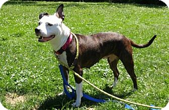 Pit Bull Terrier Dog for adoption in Canastota, New York - Rayna