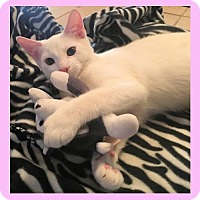 Adopt A Pet :: Kitten - Pinkie - Euless, TX