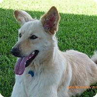 German Shepherd Dog/Golden Retriever Mix Dog for adoption in Stephenville, Texas - Blondie-New Photos 9/12