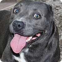 Pit Bull Terrier Mix Dog for adoption in Savannah, Missouri - Sky