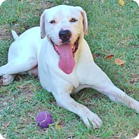 Adopt A Pet :: Sailor, lovable lab family boy - Snohomish, WA