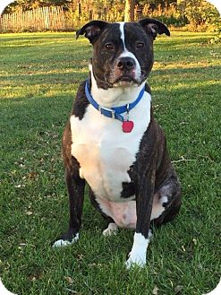 Boxer Mix Dog for adoption in Valley City, North Dakota - Tank