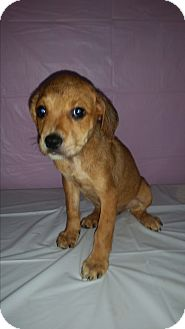 German Shepherd Dog/Labrador Retriever Mix Puppy for adoption in Baltimore, Maryland - Bree-URGENT