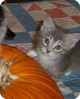 Domestic Shorthair Kitten for adoption in Taylor Mill, Kentucky - Gwenie-Stunning Sept kitten