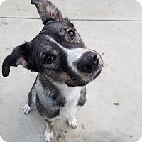 Husky/Shepherd (Unknown Type) Mix Dog for adoption in Santa Clarita, California - Balthazar
