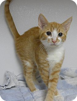 Domestic Shorthair Kitten for adoption in Manning, South Carolina - Cosmo