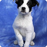 Adopt A Pet :: DONNA - Westminster, CO