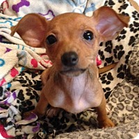 Chihuahua Mix Puppy for adoption in Garland, Texas - Bernadette