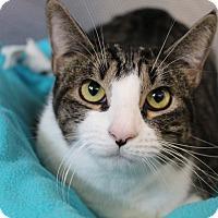 Adopt A Pet :: Catalini - Sarasota, FL