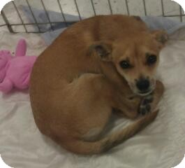 Chihuahua Mix Dog for adoption in Phoenix, Arizona - Marsha Brady