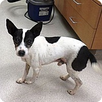 Adopt A Pet :: Little Barney - Knoxville, TN
