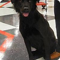 Border Collie/Labrador Retriever Mix Dog for adoption in Houston, Texas - Gorgeous George