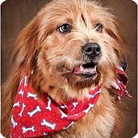 Adopt A Pet :: Ewok - Owensboro, KY