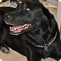 Adopt A Pet :: Charra - Scottsdale, AZ