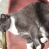 Domestic Shorthair Cat for adoption in Sherman Oaks, California - Silver