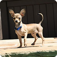 Adopt A Pet :: Desi - Puppy - Dallas, TX