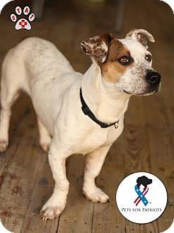 Jackson, TN - Basset Hound/Jack Russell Terrier Mix. Meet ...