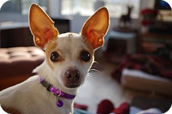 Chihuahua Mix Dog for adoption in Virginia Beach, Virginia - Chico