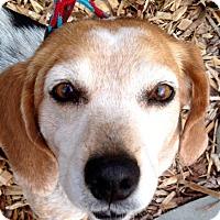 Adopt A Pet :: Daisy - Allentown, PA