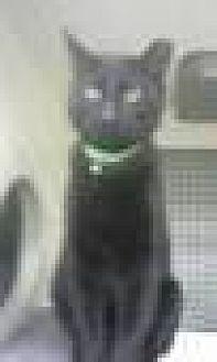 Domestic Shorthair Cat for adoption in Trexlertown, Pennsylvania - Jet*