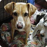 Adopt A Pet :: Stella - Jarrell, TX