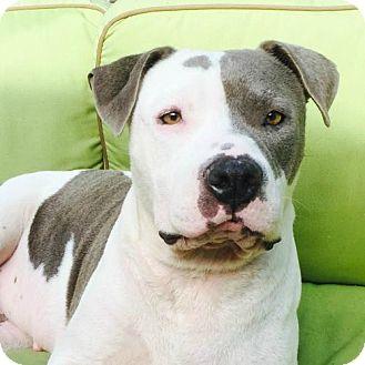 Pit Bull Terrier Dog for adoption in Santa Monica, California - Annie