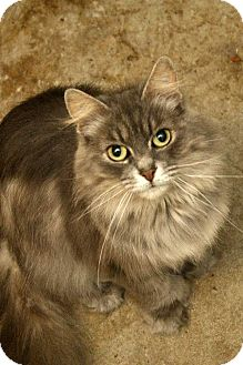 Domestic Longhair Cat for adoption in Fort Madison, Iowa - Flurfy