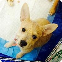 Terrier (Unknown Type, Medium) Mix Puppy for adoption in Los Banos, California - Khaleesi