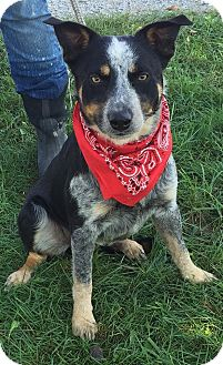 Australian Cattle Dog/Border Collie Mix Dog for adoption in Texico, Illinois - Chase