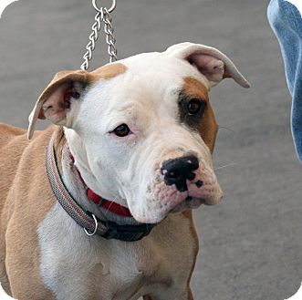 Pit Bull Terrier Mix Dog for adoption in Palmdale, California - Karma